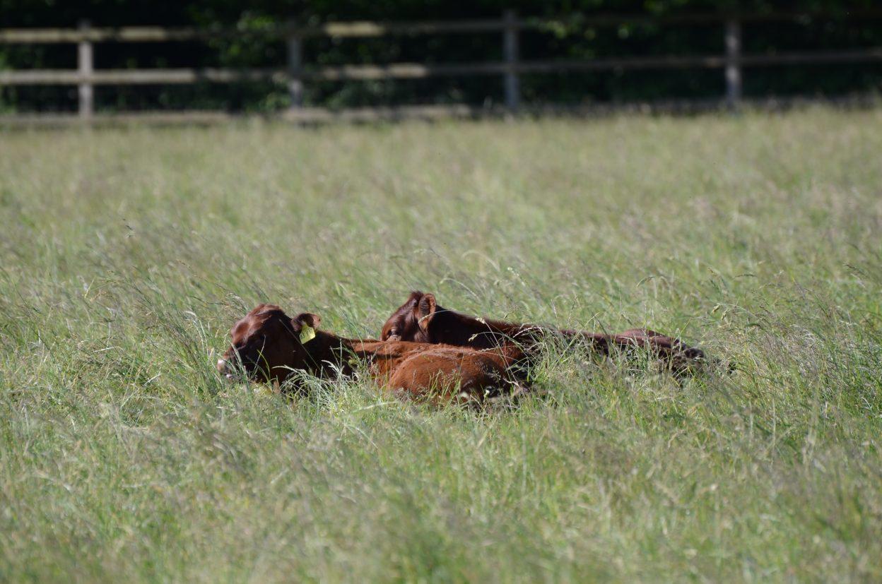 Kühe im hohen Gras