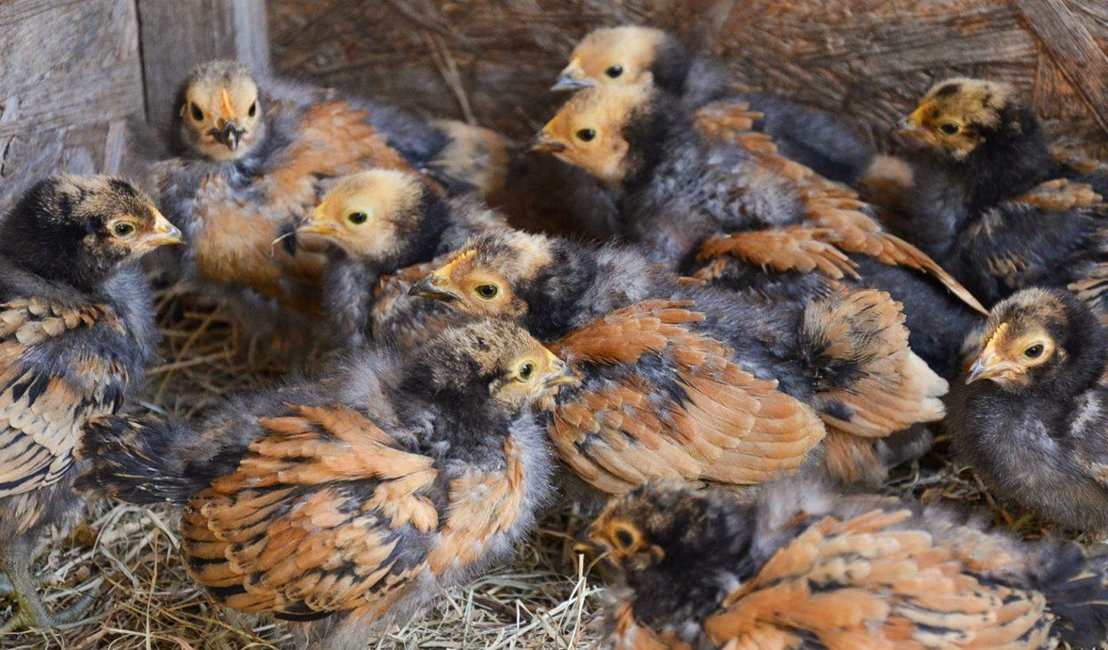 Vorwerk Hühner
